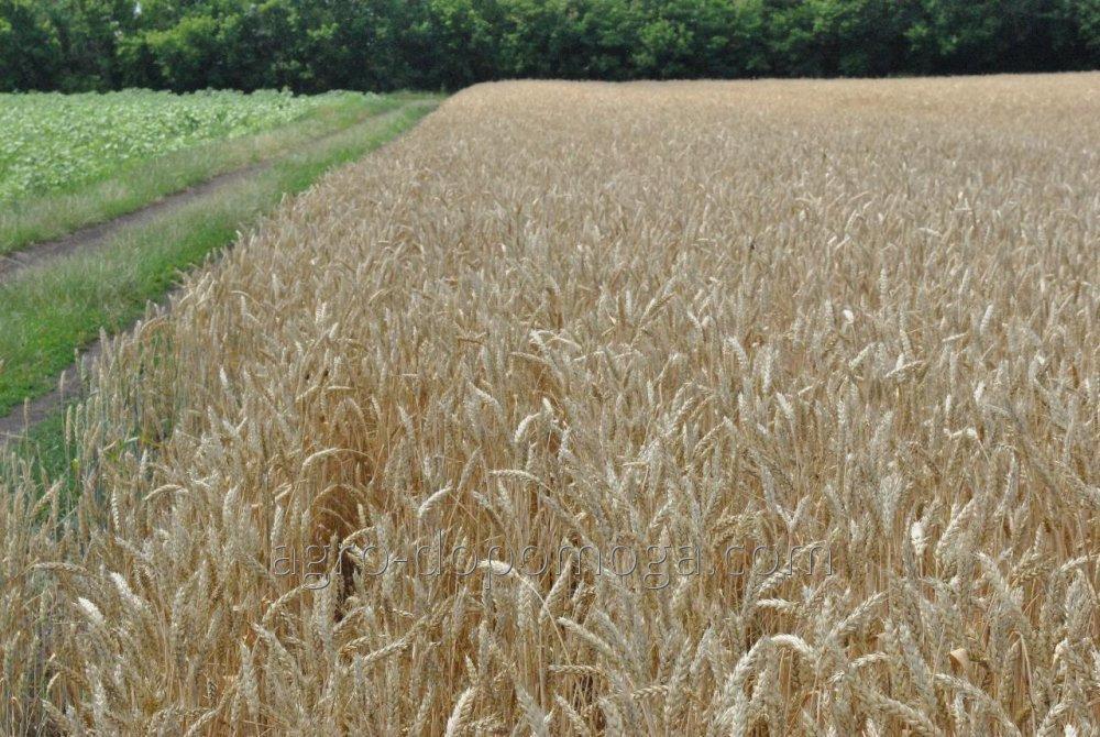Семена озимой пшеницы сорт Кольчуга