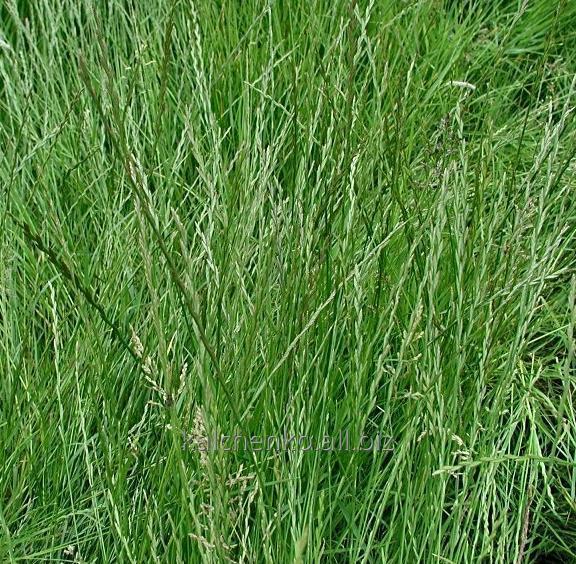 Семена кормовой травы Райграс многолетний и однолетний в Украине. Райграс пастбищный.