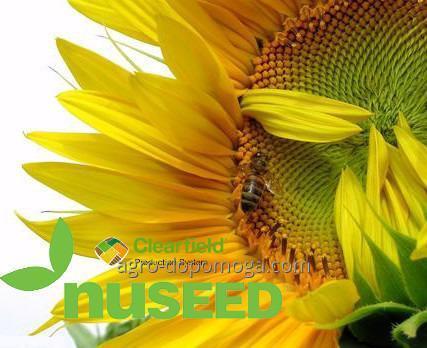 Семена подсолнечника NUSEED Кобальт 2 (под Евролайтинг)