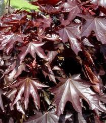 """Купить Клен остролистый ф. """"Feassen's Black"""" (Acer platanoides f. """"Feassen's Black"""")"""