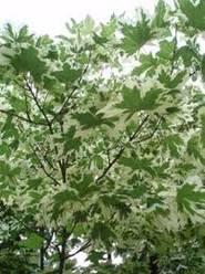 "Купить Клен остролистый ф.""Drummondii"" (Acer platanoides f.""Drummondii"")"