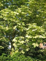 "Купить Клен-явор-""Leopoldii"" (Acer pseudoplatanus ""Leopoldii"")"