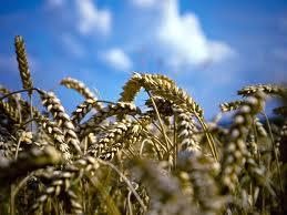 Купить Пшеница от производителя, Херсонская область.
