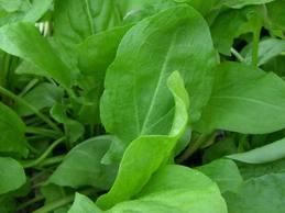Купити Семена для посадки зелених культур