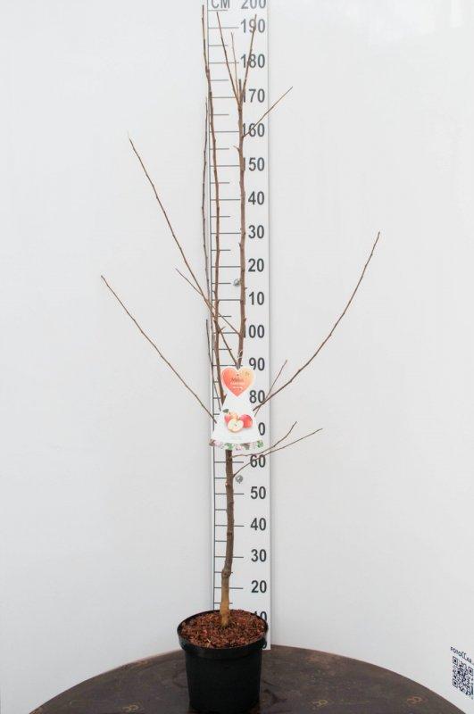 Яблоня домашняя -- Malus x dome.  P27/H150