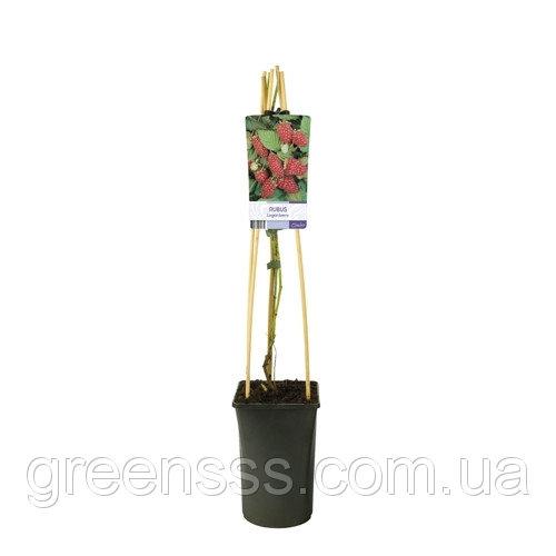 Ягода Логана, или Логанова ягода (малино-ежевичный гибрид) -- Rubus Loganberry  P16/H75