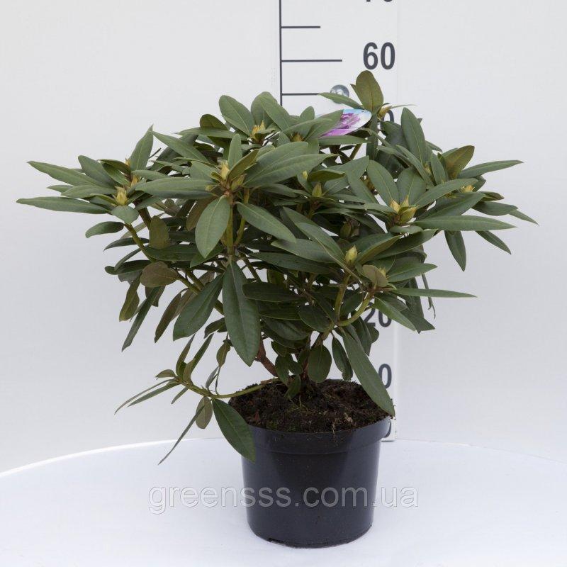 Кипарисовик лавсона хвойные растения в интернет магазине садовый мир за 0 руб