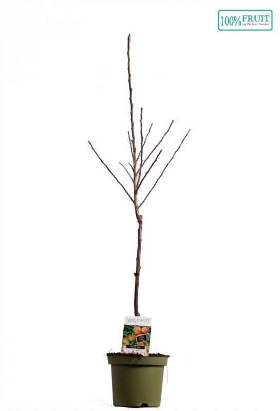 Яблоня домашняя -- Malus x dome.  P26/H180