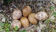 Купить Инкубационное яйцо куропатки