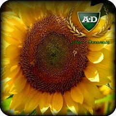 Семена подсолнечника НС АДМИРАЛ (стандарт) / посевной материал подсолнуха