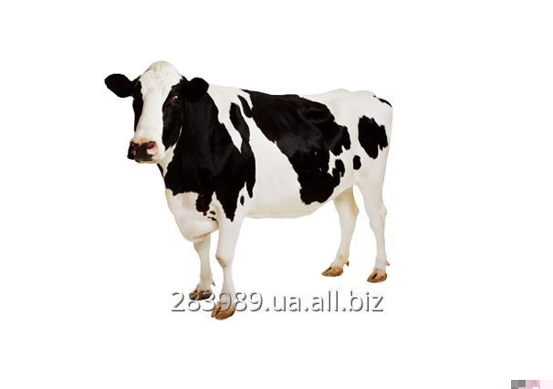 Beef Meat / Говядина