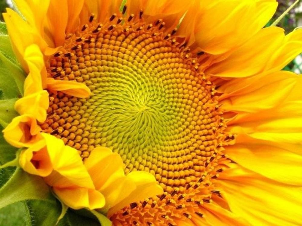 Семена подсолнечника Ореол