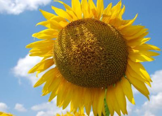 Семена подсолнечника сорт Мираж