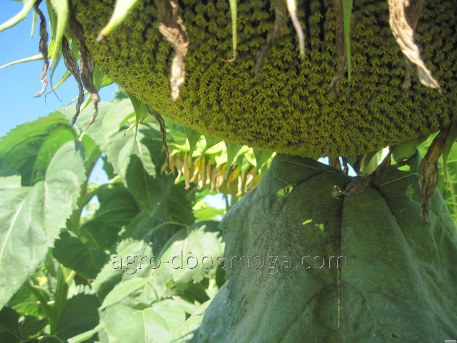 Семена подсолнечник Алексей (под гранстар 50г)