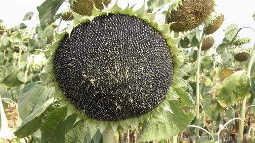 Семена подсолнечника  сорт Добрыня