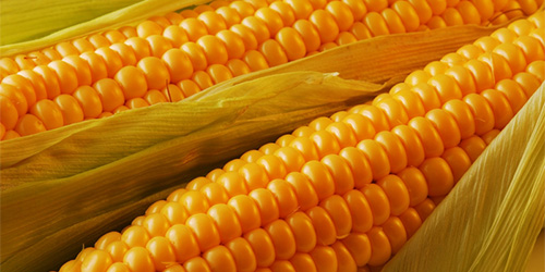Купить Кукуруза AS 33009