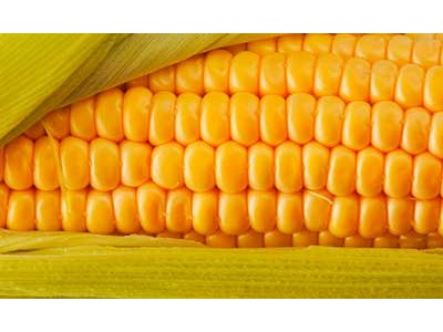 Seeds of corn of NANOSECOND of 2014 (Novi Sad)