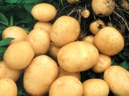 Купить Картофель сортовой Чернигов, Украина