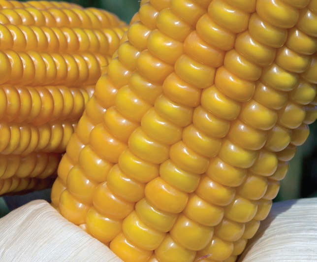 Семена кукурузы Лимагрейн гибрид ЛГ 3350 / LG 3350