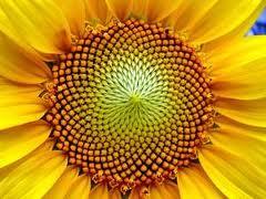 Купить Семена подсолнечника в Украине, Купить, Цена, Фото, ПАРТЕР F1