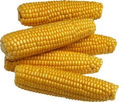 Купить Семена Кукурузы.