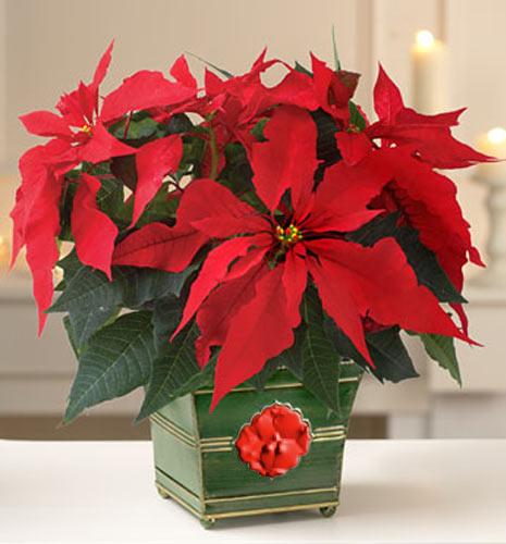 Цветок рождественник как ухаживать