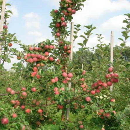 Купить Райская яблоня Weiser Winterglockenapfel шпалера