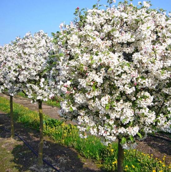 Купить Яблоня райская Нью Купман