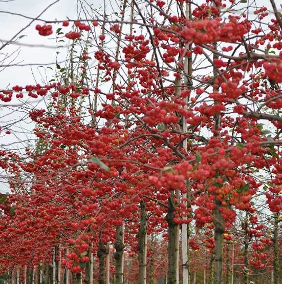 Купить Яблоня райская Ред Сентинел