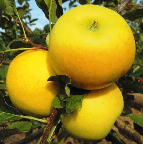 Купить Яблоня Богемия Голд