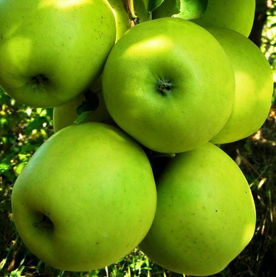 Купить Яблоня Мутсу