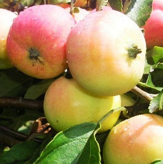 Купить Яблоня Пепенка золотистая