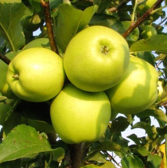 Сорта яблонь в картинках для украины