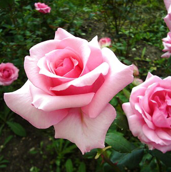 Купить Роза Карина плетистая роза