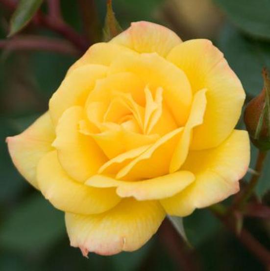 Купить Роза Лаура Форд плетистая роза