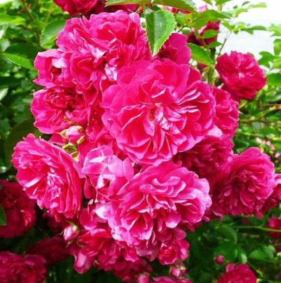 Купить Роза Эксельза плетистая роза