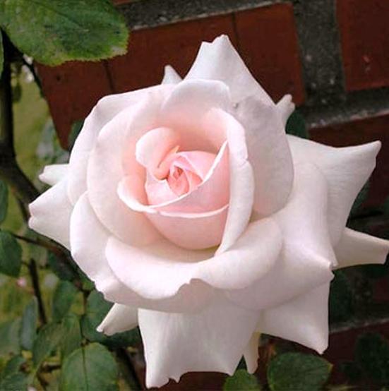 Купить Роза Эмили Грей плетистая роза