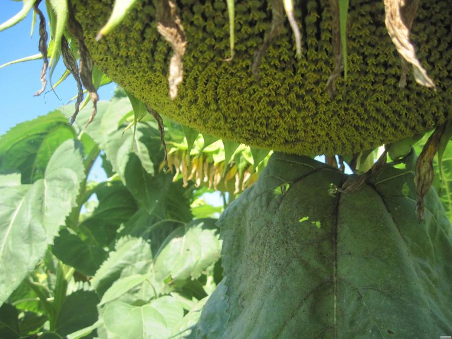 Семена подсолнечника Евралис Новамис (под Евролайтнинг)