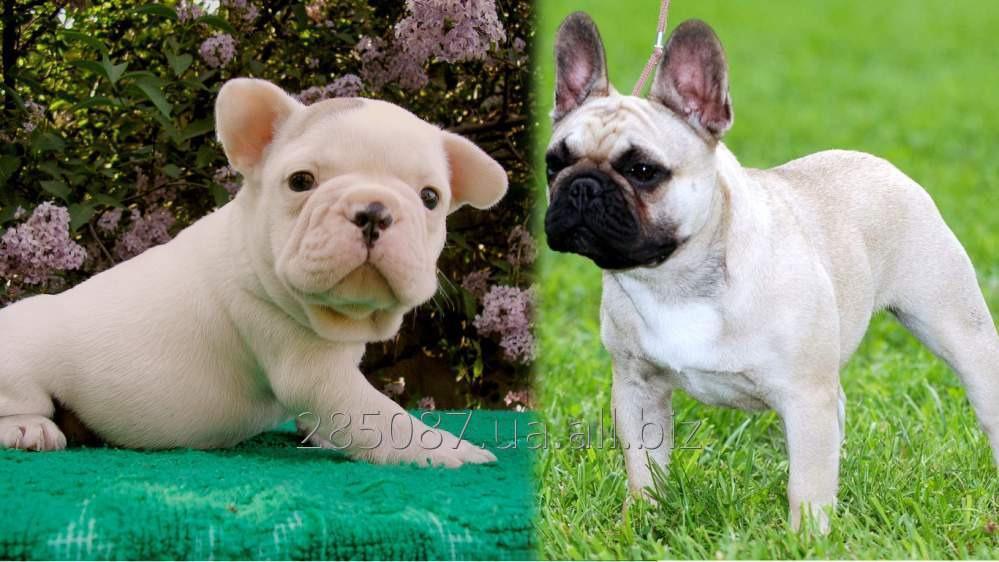 Купить Щенки собак французского бультерьера