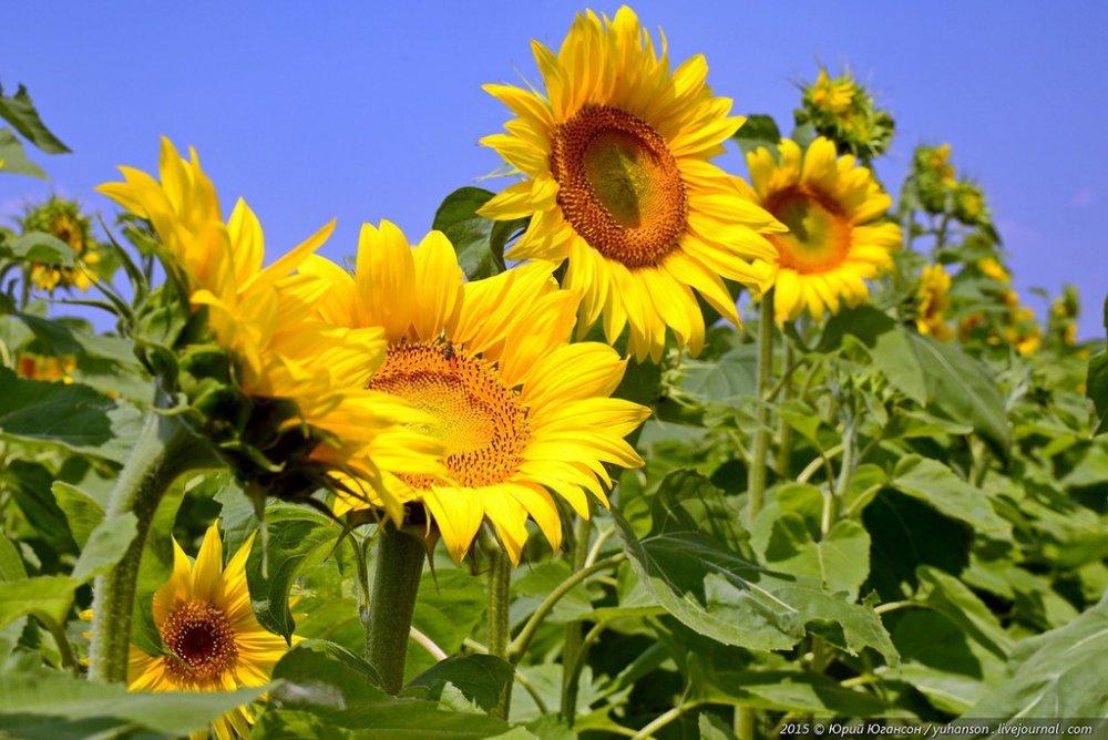 Семена подсолнечника Евралис Романтик