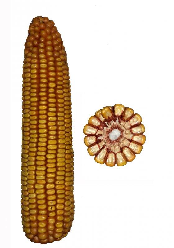Купить Гібрид кукурудзи Мотрин 178 СВ