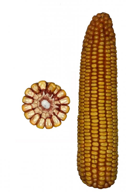 Купить Гібрид кукурудзи Столичний 190 СВ