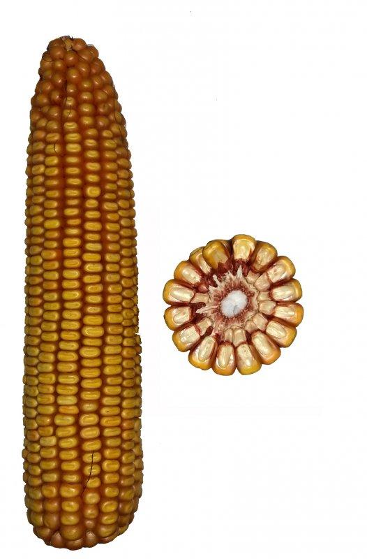 Купить Гібрид кукурудзи Ленин 186 СВ