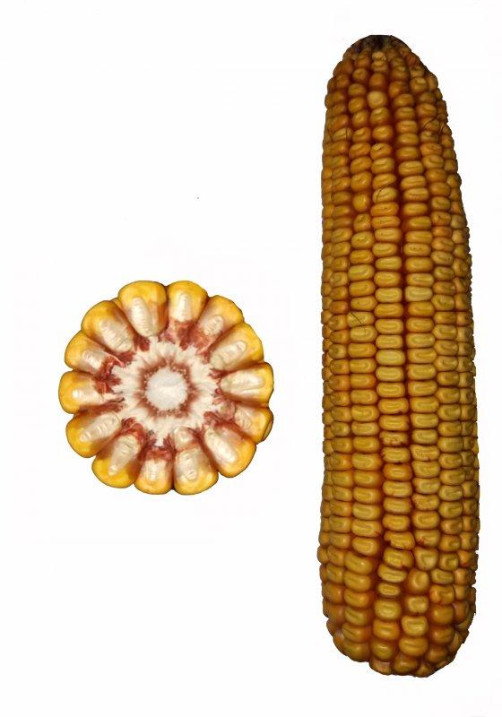 Купить Гібрид кукурудзи Ріст СВ
