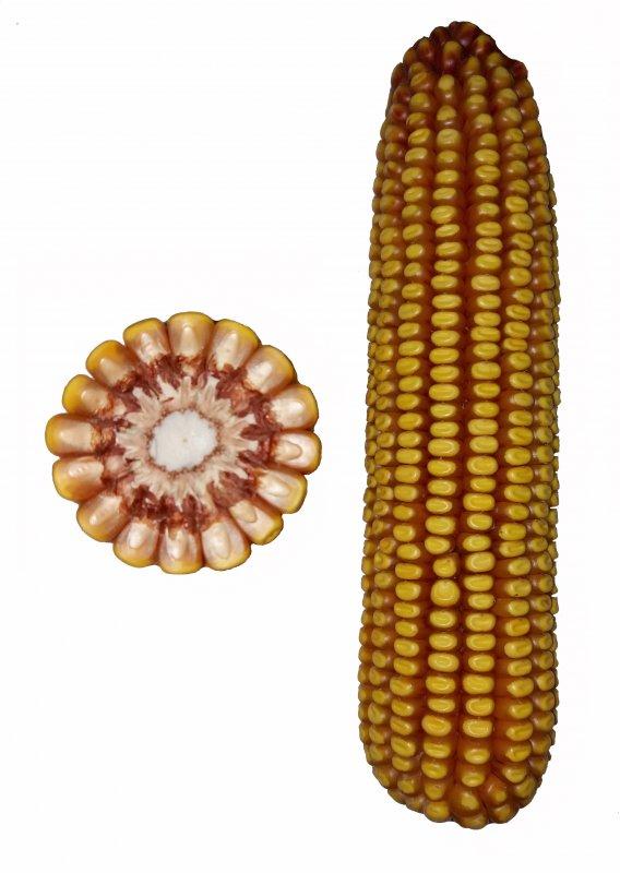 Купить Гібрид кукурудзи Регіон СВ
