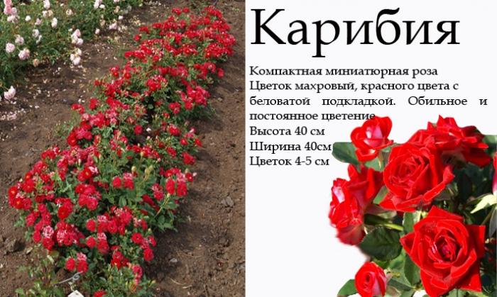 Купить Розы патио миниатюрные
