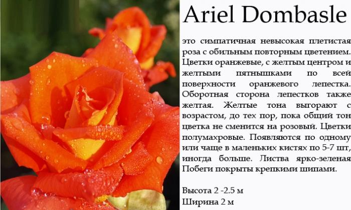 Купить Розы плетистые