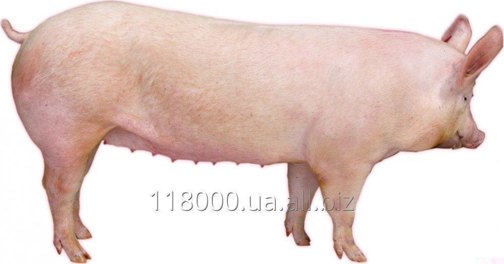 Купить Чистопородна Свинка Велика Біла GP Hermitage