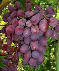 Купить Саджанці винограду
