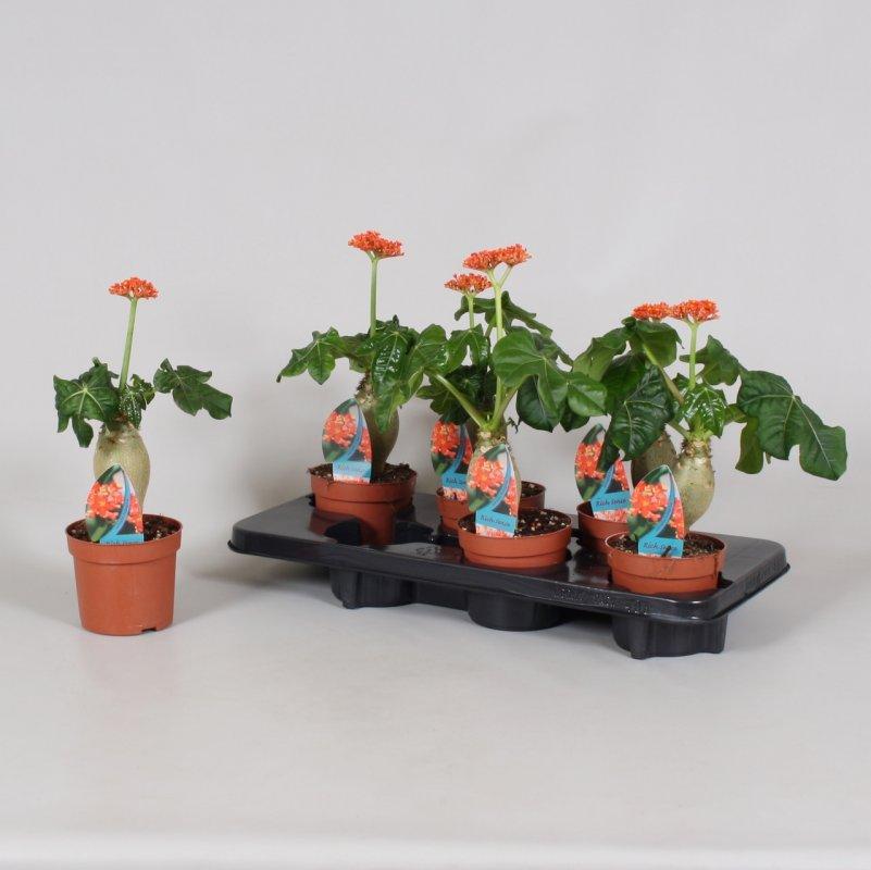 Ятрофа подагрическая -- Jatropha podagrica   P13/H25